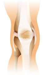 Human knee