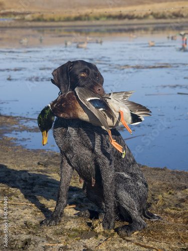 Papiers peints Poules Hunting Dog with a Mallard Duck