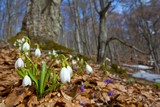 spring snowdrops in a forest