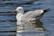 Closeup of herring gull swimming on the sea