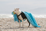 American Staffordshire Terrier white and black with blue towel