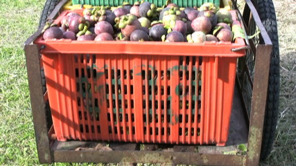 Cart With Containers Full Of Ripe Mangosteen Fruit