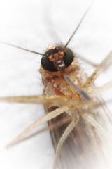 Dead mosquito.