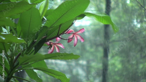 Plumeria Flower In A Monsoon Downpour
