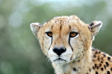 A clean portrait of a cheetah .
