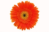orange gerbera on the white background