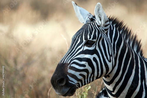 Papiers peints Algérie Zebra in the Serengeti National Park, Tanzania
