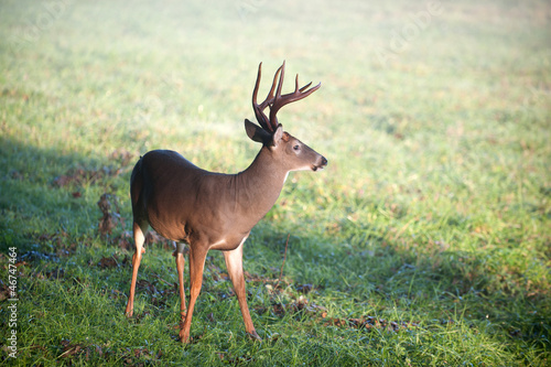 White-tailed deer buck in a meadow