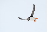 Atlantic Puffin flying.