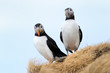 Two Atlantic Puffin on cliff