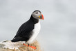Atlantic Puffin on cliff