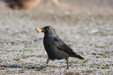 Jackdaw (Corvus monedula) looking for food. Winter - spring.