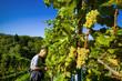 Winzer bei Weinlese im Weingarten