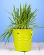 Green grass in bucket on wooden table on blue background