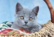 Junge Kartäuser Katze – im Wollkorb