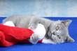 Junge Kartäuser Katze – spielt mit Nikolausmütze
