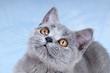 Junge Kartäuser Katze – Portrait