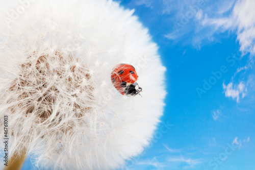 Ladybug on a dandelion