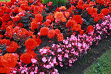 Beautiful flower bed with begonia flowers