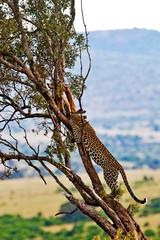 Wild leopard on the Maasai Mara, Kenya, Africa
