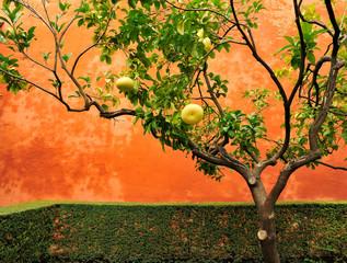 Pampelmusenbaum vor roter Mauer