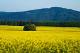 Rape fields, forested mountains in the background