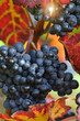 Red grape with autumn foliage