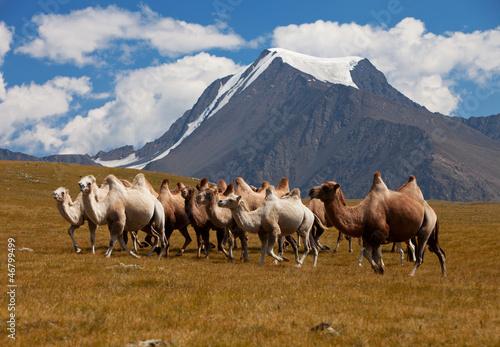 Fotobehang Kameel Herd camels against mountain. Altay mountains. Mongolia