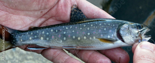 High Sierra Brook Trout