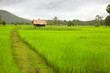 The way through the rice field. Don Khong. Si Phan Don. Laos