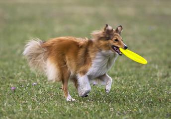Dog running with frizbee