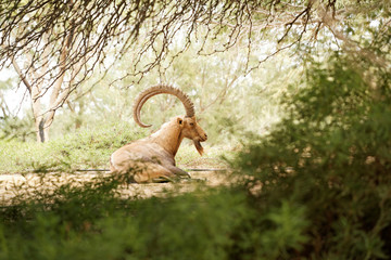 goat in the wild day