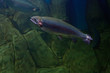 Rainbow trout or Salmon trout (Oncorhynchus mykiss) close-up und