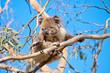 koala tree hand