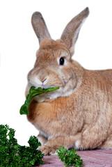 Rabbit eating vegetables