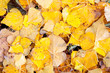 Yellow leaves in autumn wallpaper