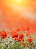 Fototapeta Poppies background