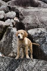 冒険するゴールデンとリバーの子犬 4ヶ月