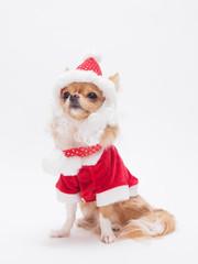 サンタクロースの衣装を着たチワワ