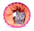 Junge Kartäuser Katze – mit Spieltunnel
