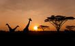 Fototapeten,safarie,sonnenuntergang,giraffe,akazie