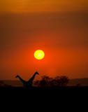 Big Setting sun with silhouettes of Giraffes