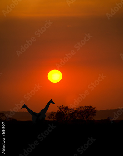 Big Setting sun with silhouettes of Giraffes