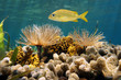 French grunt fish above feather duster worms and corals
