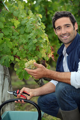 Man picking grapes during the grape harvest