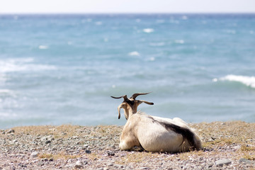 Goat looking at sea in Rhodes