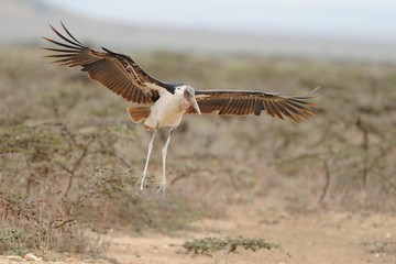Marabù d'Africa in volo