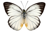 White butterfly species Delias baracasa