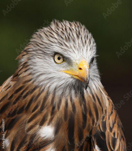 Portrait of a Red Kite