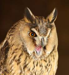 Portrait of a Long Eared Owl screeching